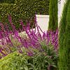 Salvia leucantha - Cupressus sempervirens 'Monshel' Tiny Tower_0548