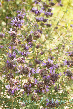 Salvia clevelandii_2304