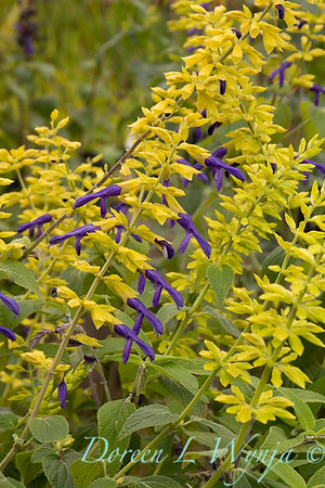 Salvia mexicana 'Limelight'_4220