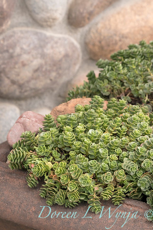 Sedum spurium 'John Creech' in a container; succulent container