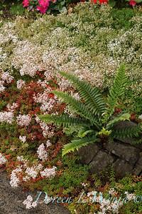 Sedum album 'Coral Carpet' covering a stone wall with Polystichum munitum_1406