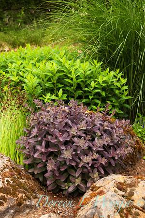 Sedum Purple Emperor_0020