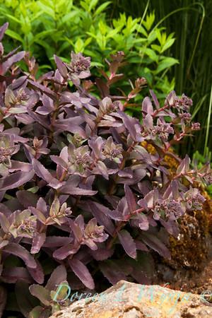 Sedum Purple Emperor_0025