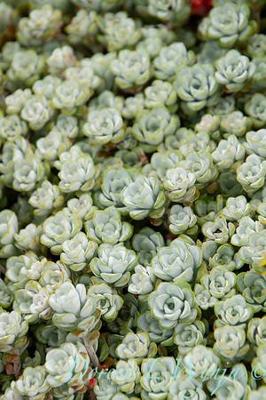 Sedum spathulifolium Cape Blanco_046
