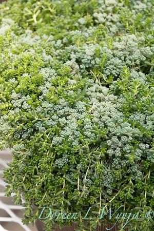Sedum sexangulare - Sedum dasyphyllum - Sedum album 'Coral Carpet'_0774