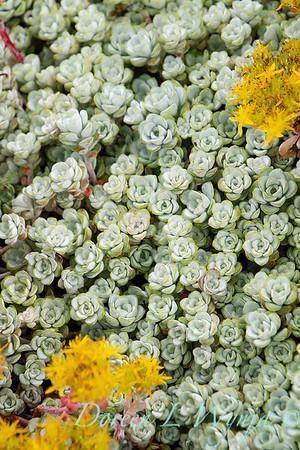 Sedum spathulifolium Cape Blanco_044