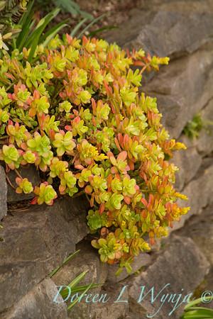Sedum makinoi 'Ogon' - stone retaining wall_6853
