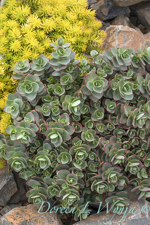 Sedum 'Lime Zinger' in a rock garden