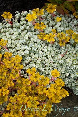 Sedum spathulifolium Cape Blanco_040