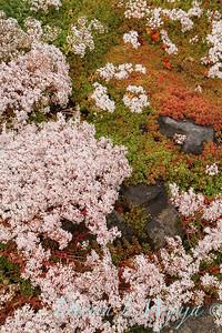 Sedum album 'Coral Carpet' in bloom_1400
