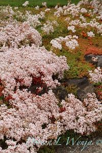 Sedum album 'Coral Carpet' in bloom_1401