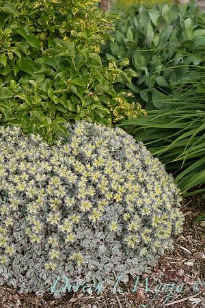 Sedum spathulifolium Cape Blanco_010