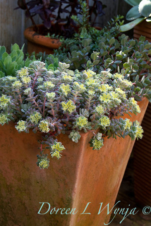 Sedum Cape Blanco_032
