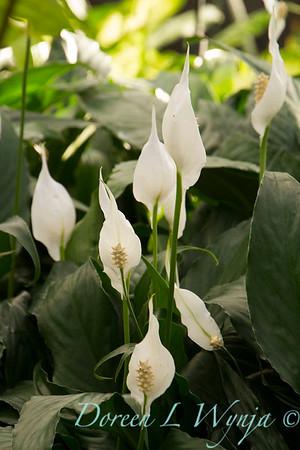 Spathiphyllum_1465