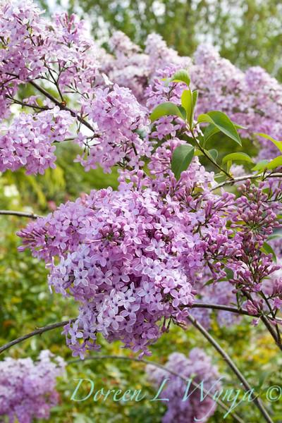 Syringa Lilac Sunday _002_Doreen Wynja