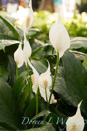 Spathiphyllum_1462