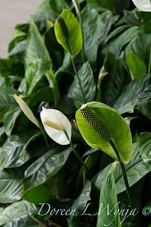 Spathiphyllum wallisii_013