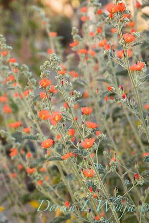Sphaeralcea ambigua_1369FG