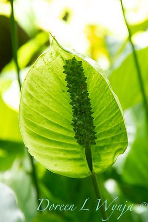 Spathiphyllum floribundum_021
