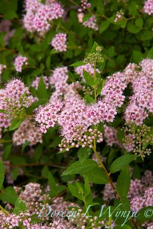 Spiraea japonica Little Princess_002