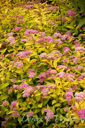 Spiraea japonica Goldmound_012M