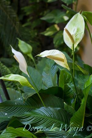 Spathiphyllum_3577 copy