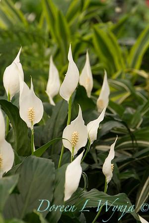 Spathiphyllum_1468