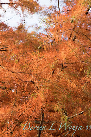 Taxodium distichum fall color_1072