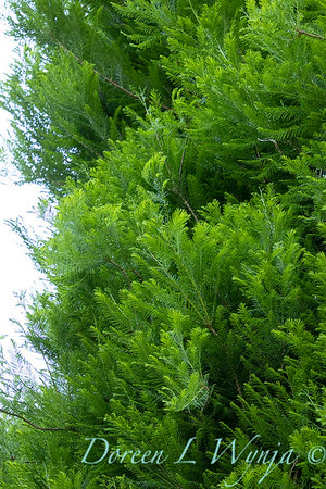5361 Taxodium distichum 'Skyward' Lindsey's Skyward_1004