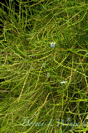 Thuja occidentalis Filiformis_001