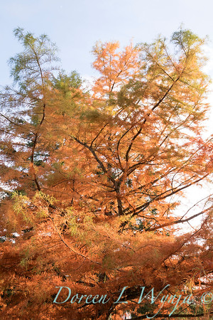 Taxodium distichum fall color_1078