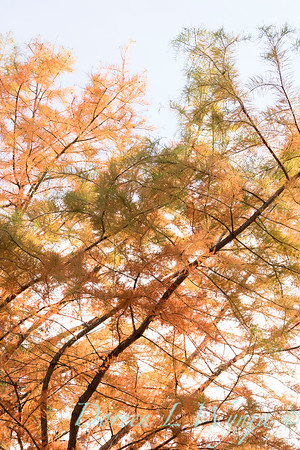Taxodium distichum fall color_1080
