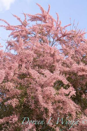 Tamarix ramosissima_893
