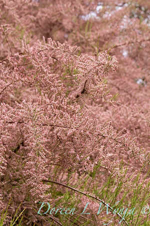 Tamarix Ramosissima 'Pink Cascade' in bloom_1229