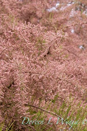Tamarix Ramosissima 'Pink Cascade' in bloom_1229