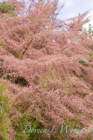 Tamarix Ramosissima 'Pink Cascade' in bloom_1226