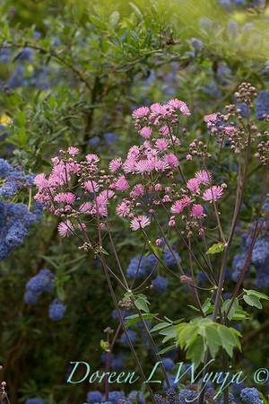 Thalictrum aquilegiifolium - Ceanothus 'Concha'_4172