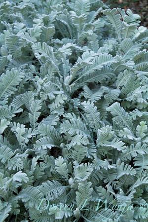 Tanacetum densum ssp  amani_004_Doreen L Wynja