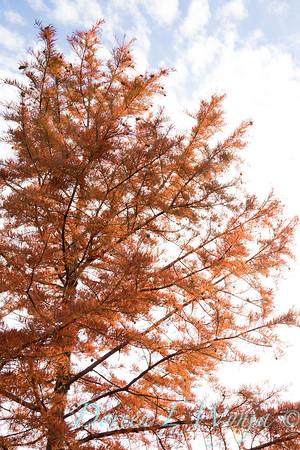 Taxodium distichum fall color_1082