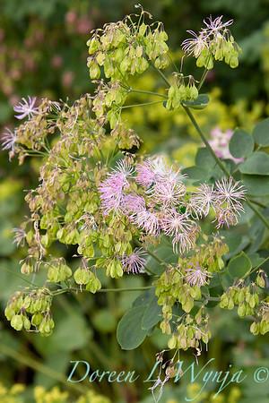 Thalictrum aquilegiifolium_003