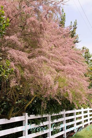 Tamarix Ramosissima 'Pink Cascade'_1222
