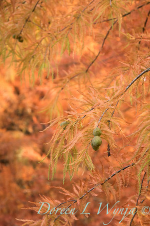 Taxodium distichum fall color_1088