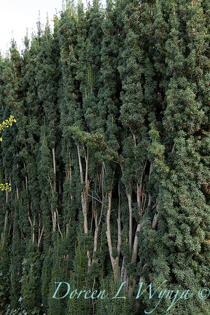 Taxus baccata 'Stricta' exposed trunk hedge_7566