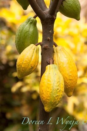Theobroma cacao_9790