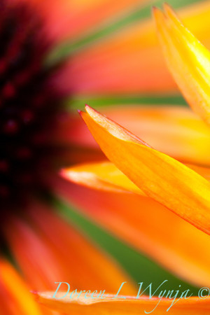 Echinacea Flame Thrower_017