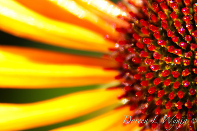Echinacea Flame Thrower_004
