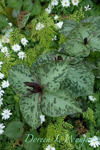 Trillium cuneatum in a woodland garden_7041