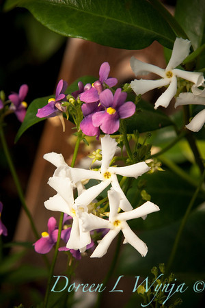 Trachelospermum jasminoides_031