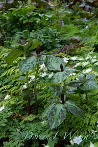 Trillium cuneatum - Anemone nemorosa 'Bracteata Pleniflora' mingling with Adiantum x mairisii_7038