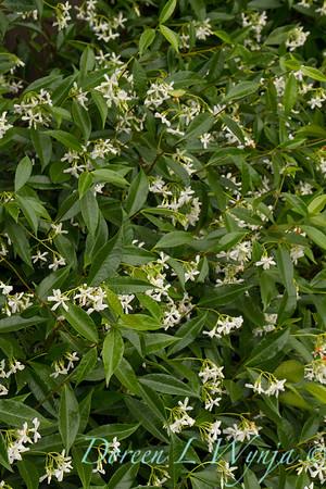 Trachelospermum jasminoides_0305